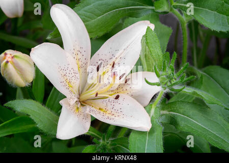 Flowers of a white lily close up. - Stock Photo