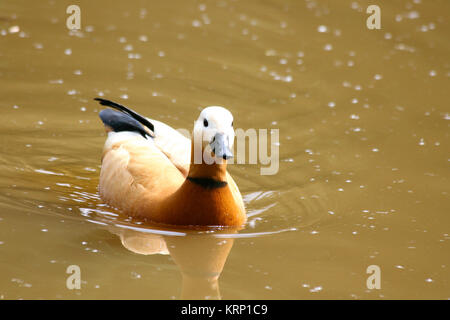 Rostgans  (Tadorna ferruginea) Stock Photo