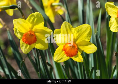 Narzissen leuchtend gelbe Blumen im Sonnenstrahl auf unscharfen Hintergrund Bokeh. - Stock Photo