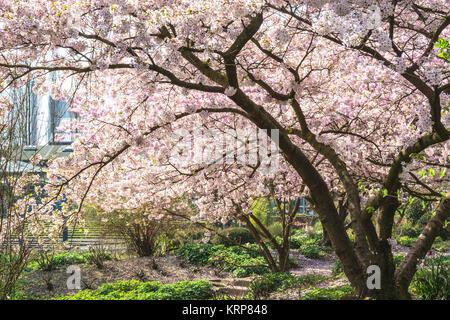 Rosa Baumblüten im Frühling vor blauen Himmel. - Stock Photo
