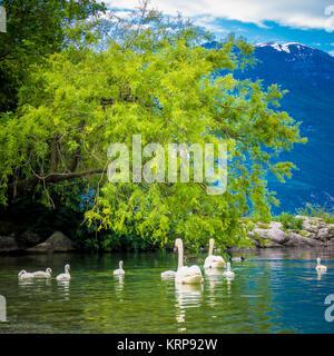 Mute Swan. Beautiful young swans in lake - Stock Photo