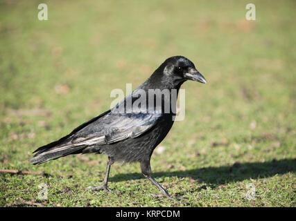 Carrion Crow, (Corvus corone), with partial leucism or leukism in plumage, Regents Park, London, United Kingdom - Stock Photo