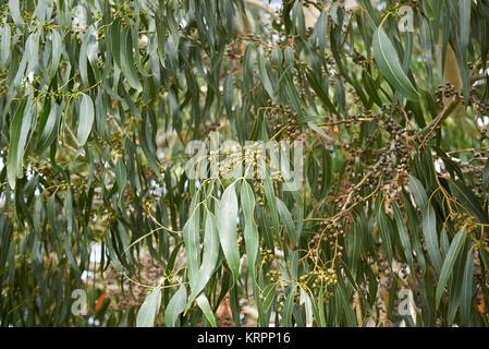 Eucalyptus dalrympleana - Stock Photo
