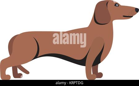 Light Brown Dachshund breed standing on white background - Stock Photo