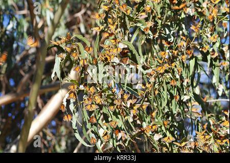 Monarch butterfly (Danaus plexippus) migration through the coastal areas of California. - Stock Photo