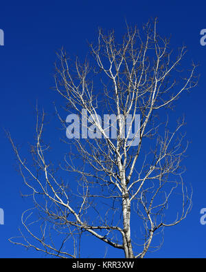 A bare aspen tree (populus tremuloides) against a deep blue clear winter sky in the Adirondack Mountains, NY USA - Stock Photo