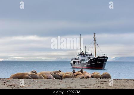 Group of walruses (Odobenus rosmarus) resting on beach at Phippsøya in Sjuøyane, archipelago north of Nordaustlandet, - Stock Photo