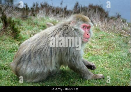 Snow Monkey Japanese Macaque Macaca fuscata in captivity - Stock Photo