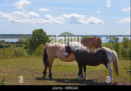 Horses on field, Hiddensee, National park 'Vorpommersche National park', Mecklenburg-Western Pomerania, Baltic Sea, - Stock Photo