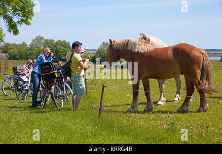 Tourists at horses on field, Hiddensee, National park 'Vorpommersche National park', Mecklenburg-Western Pomerania, - Stock Photo