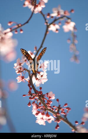 Monarch butterfly feeding on pink cherry blossoms, during monarch butterfly migration through the coastal areas of California.