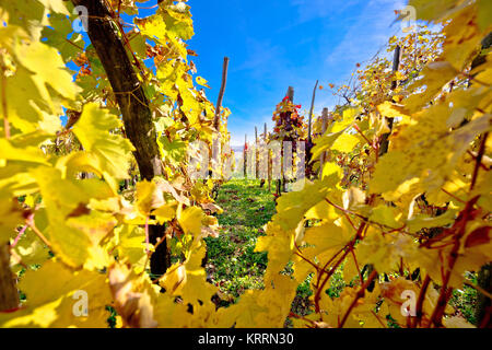 Vineyard in autumn colors view - Stock Photo