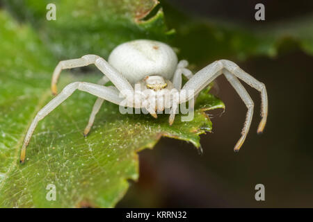 Crab Spider (Misumena vatia) poised on a leaf waiting for prey. Cahir, Tipperary, Ireland. - Stock Photo