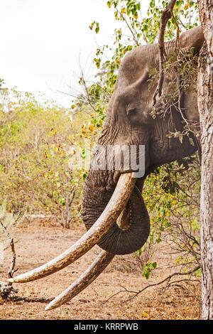 African Elephant (Loxodonta africana) 9 - Stock Photo