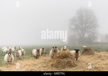 A flock of sheep in a foggy day - Stock Photo