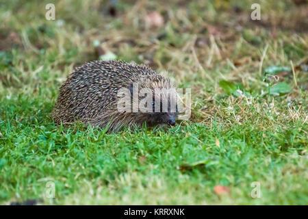 European Hedgehog Foraging in Garden at Dusk - Stock Photo