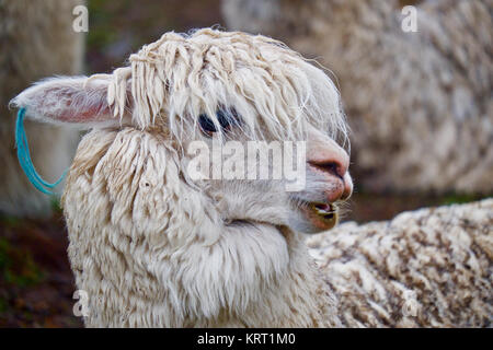 Herd of alpacas in Q'ero village in Andes near Sacred Valley. Q'ero are considered to be spiritual ancestors of - Stock Photo