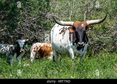 Long Horn T Cow - Stock Photo