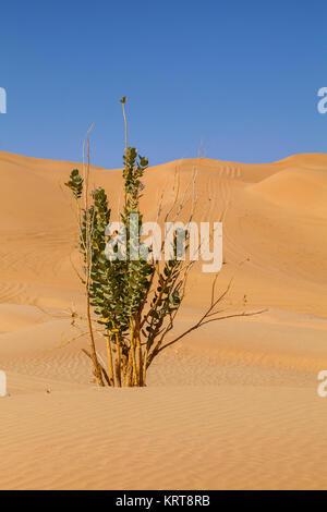 Sand Dunes plant in Rub' al Khali desert, Oman - Stock Photo