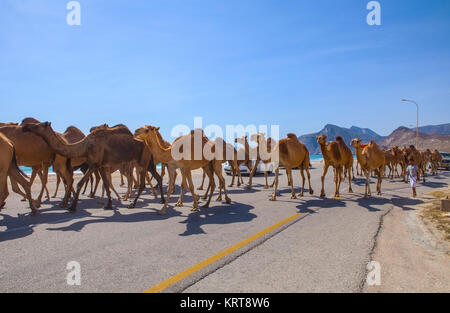 Al Mughsayl, Oman - January 10 : Camels being driven to pastures, accompanied by their owner in the truck. Jan 10, - Stock Photo