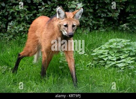 Watchful South American Maned wolf (Chrysocyon brachyurus) on the prowl - Stock Photo