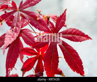 Acer palmatum in close up - Stock Photo