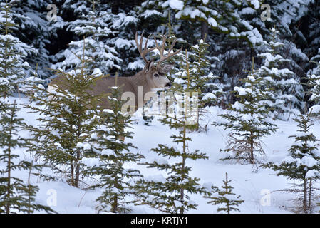 A mule deer buck (Odocoileus hemionus), standing  in the small evergreen trees with a fresh snowfall clinging to - Stock Photo