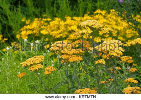 Garten-Schafgarbe in gelb der Sorte Terracotta - yellow Fernleaf Yarrow in garden, species Terracotta - Stock Photo