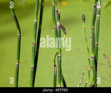Equisetum hyemale stems against a background of green pond water - Stock Photo