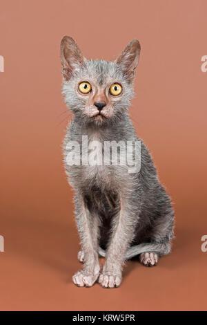 Rassekatze Werwolf (Lykoi) Kitten, Alter 6 Monate - Stock Photo