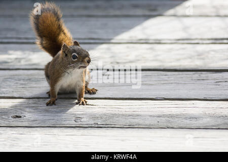 Closup shot of a Red Suirrel - Stock Photo