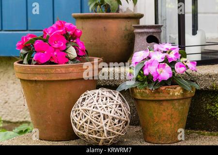 Fleissige Lieschen im Blumentopf, buxy lizzie in a flower pot - Stock Photo