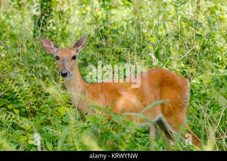 White-tailed deer doe. Odocoileus virginianus - Stock Photo