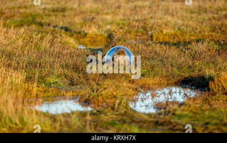 Donna Nook, Lincolnshire, UK. 5th Nov, 2017. Greys Seal in the Morning light at the UK Military Range Donna Nook, - Stock Photo