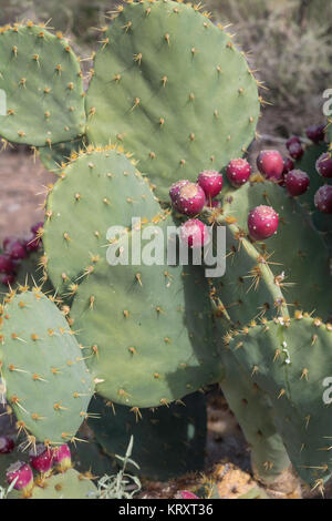 prickly pear cactus plant with red fruits vertical view - Stock Photo