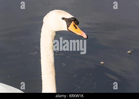 portrait of a white swan - Stock Photo