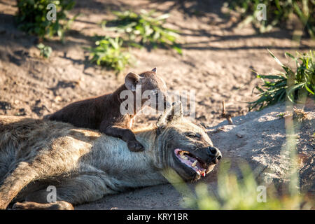 Bonding Spotted hyena in the Kruger National Park, South Africa. - Stock Photo