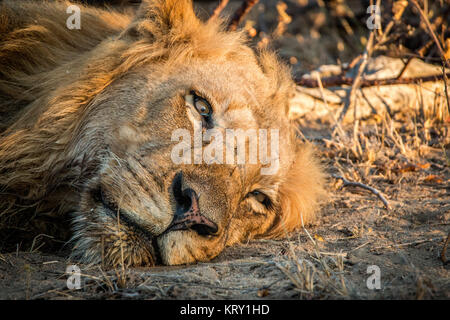Resting Lion in the Kruger National Park, South Africa. - Stock Photo
