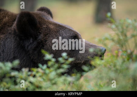 Brown Bear / Braunbaer ( Ursus arctos ), resting in the undergrowth of a forest, watching curious, close up, detailed - Stock Photo