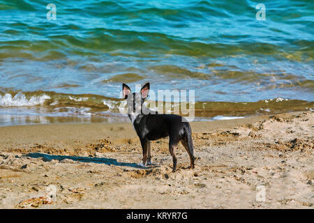 A Llittle Dog on the Beach - Stock Photo