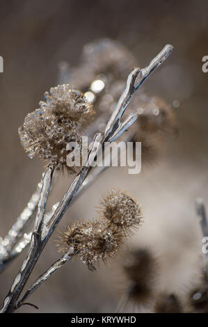 Ice encrusted burdock after ice storm - Stock Photo