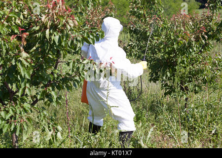 Farmer spraying toxic pesticides or insecticides in fruit orchar - Stock Photo