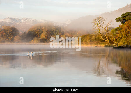 A pair of swans swim through morning mist rise from Windermere lake, beside trees displaying autumn colours, at - Stock Photo