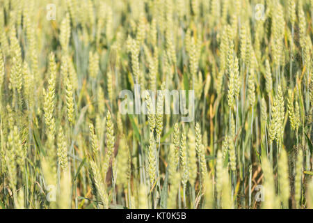 Natura 2000, Głebowice, Poland, Europe. Ears of wheat - Stock Photo