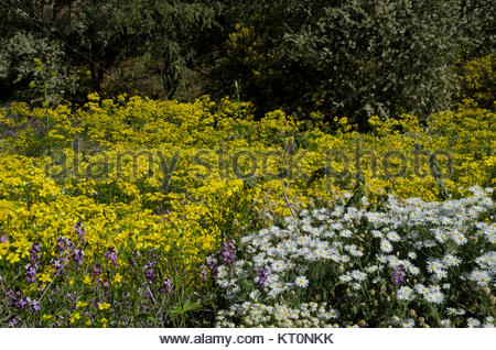 Canary buttercup (Ranunculus cortusifolius) (in the middle), Argyranthemum adauctum (bottom right) and wallflower - Stock Photo