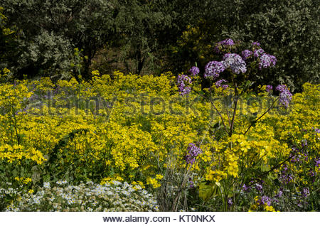 Canary buttercup (Ranunculus cortusifolius) (in the middle), Argyranthemum adauctum (bottom left) and Pericallis - Stock Photo