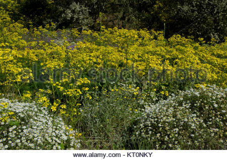 Canary buttercup (Ranunculus cortusifolius) (in the middle), Argyranthemum adauctum (bottom left and right). Gran - Stock Photo