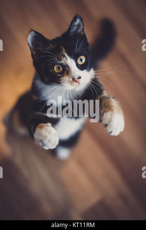 Domestic cat playing (Felis silvestris catus) - Stock Photo