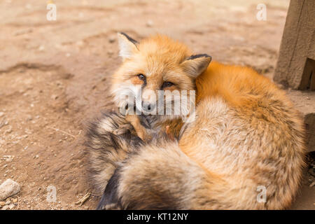 Tried red fox - Stock Photo
