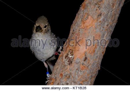 Gran Canaria blue chaffinch (Fringilla polatzeki). Female. Alsándara. Integral Natural Reserve of Inagua. Tejeda. - Stock Photo